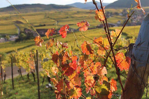 07-vigne-automne© OT Pays de Ribeauville-Riquewihr